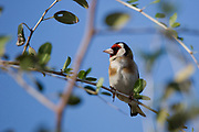 European goldfinch (Carduelis carduelis) perched on a twig. These birds are seed eaters although they eat insects in the summer. With blue sky background. Photographed in Israel in April