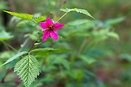 A Salmonberry (Rubus spectabilis) blooms at Campbell Valley Park in Langley, British Columbia, Canada