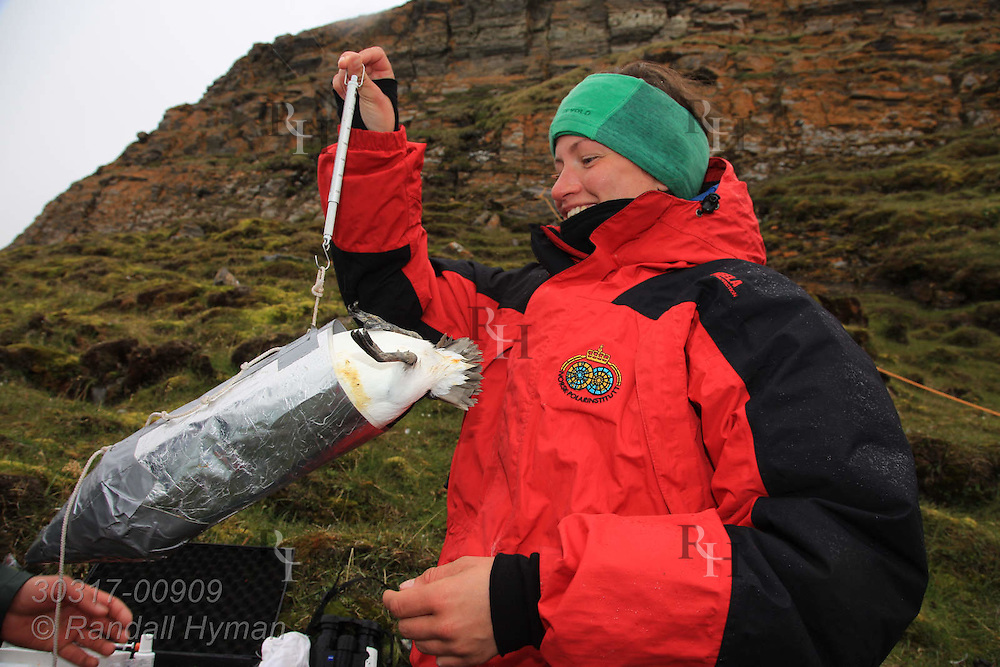 Atop sheer cliffs of Ossian Sars Nature Reserve, field tech Saga Svavarsdottir weighs Brünnich's guillemot, aka thick-billed murre (Uria lomvia), snagged from ledges below with nylon noose on pole; Kongsfjorden, Svalbard.
