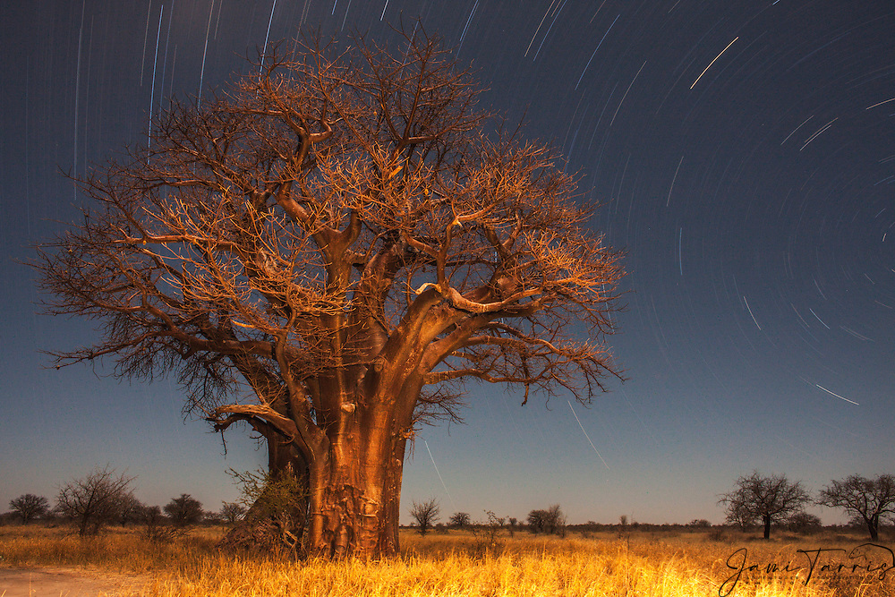 Baobab tree (Adansonia) at night with star trails of the southern hemisphere, Nxai Pan,Kalahari Desert, Botswana, Africa