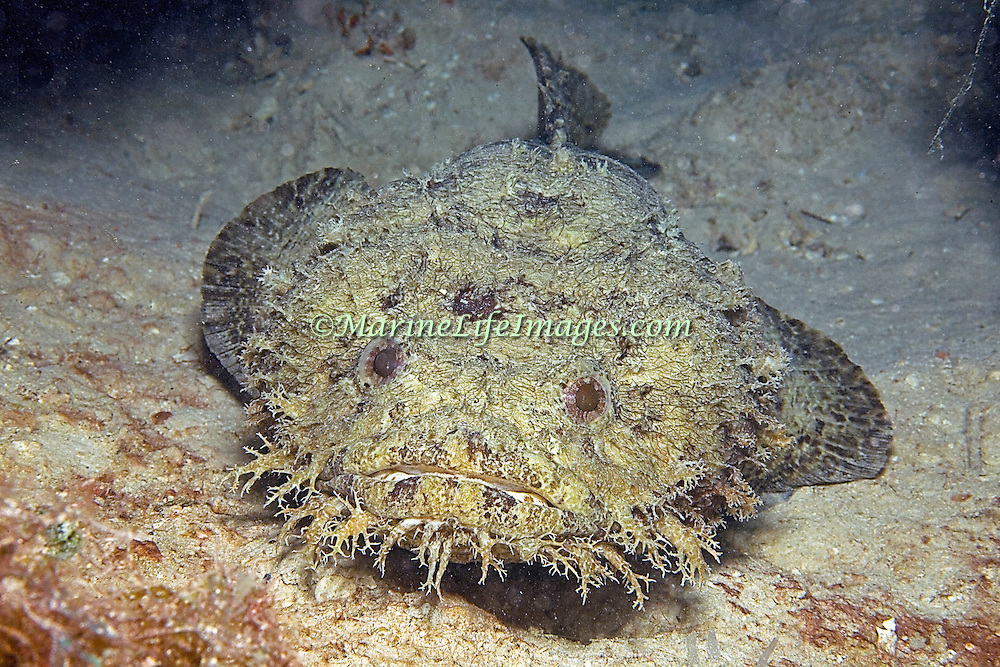Bearded Toadfish inhabit shallow sandy areas, usually in dark recesses under rocks and reefs with only head proturding along Caribbean coast and islands of Central America; picture taken Utila, Honduras.