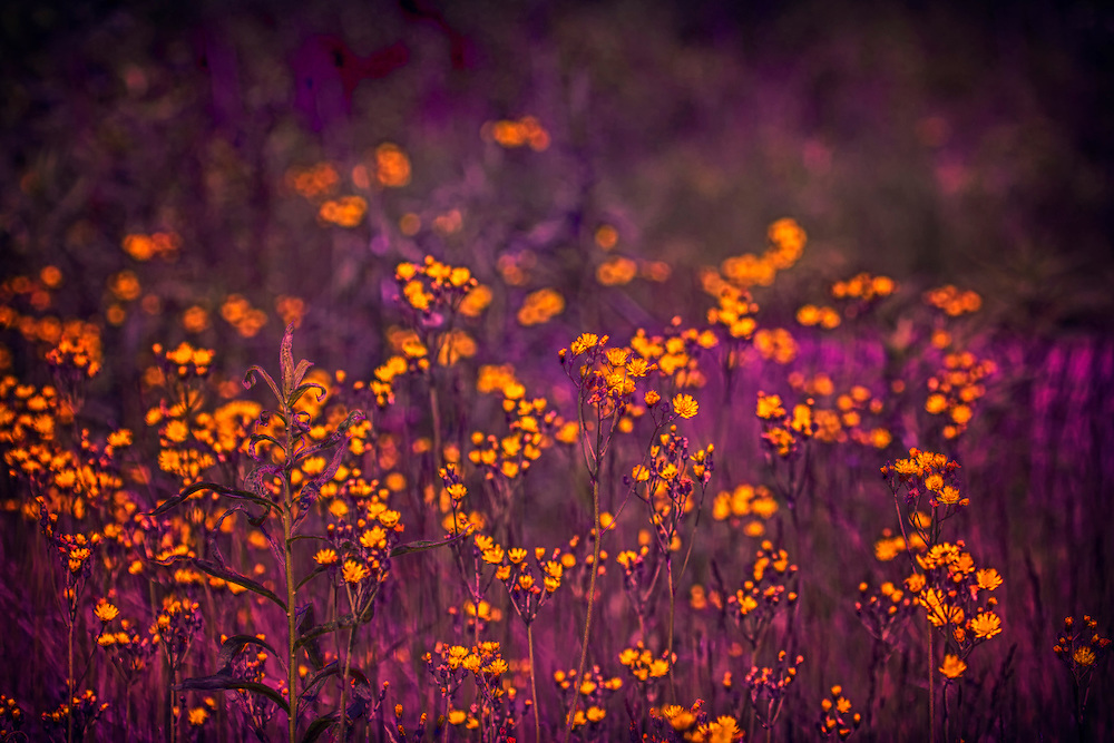 A deliciously velvet purple field of wildflowers with popping yellow florets.