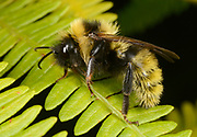 Close-up of a Field cuckoo-bee (Bombus campestris) resting on bracken in a Norfolk wood in summer