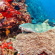 An adult brown banded bamboo shark (Chiloscyllium punctatum) rests on a pristine coral reef near Alor, Indonesia.