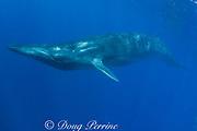 Bryde's whale, Balaenoptera brydei or Balaenoptera edeni, off Baja California, Mexico ( Eastern Pacific Ocean )