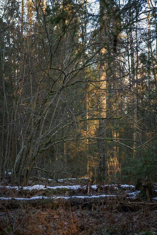 Hazel tree (Corylus avellana) in wintery forest landscape, forests around River Amata, near Skujene, Latvia Ⓒ Davis Ulands | davisulands.com