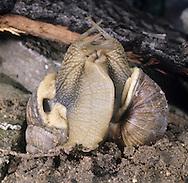 Roman Snail Courtship - Helix pomatia