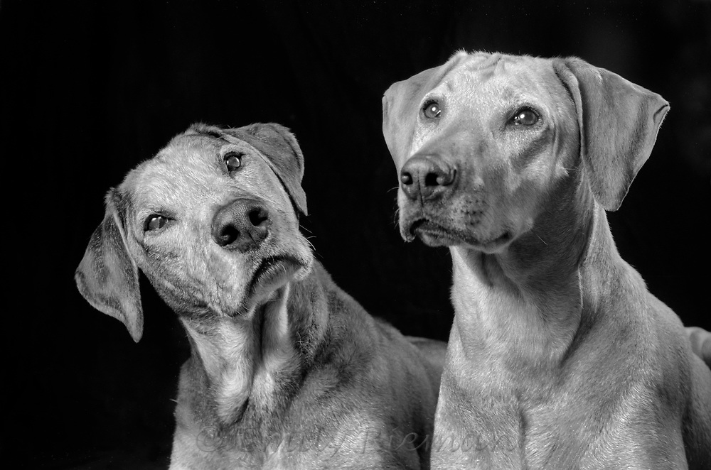 Portrait of a dogs shot on black and white film.