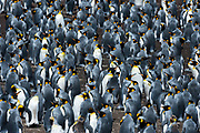 A King penguin colony, Aptenodytes patagonica.