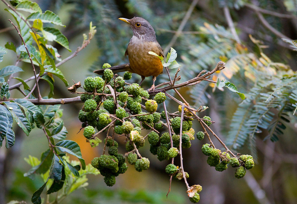 Nova Lima_MG, Brasil...Sabia-laranjeira (Turdus rufiventris) no galho de uma arvore no condominio Passargada...The Rufous-bellied Thrush (Turdus rufiventris) on the branch tree in the condominium Passargada...Foto: JOAO MARCOS ROSA / NITRO