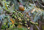 Nova Lima_MG, Brasil...Sabia-laranjeira (Turdus rufiventris) no galho de uma arvore no condominio Passargada...The Rufous-bellied Thrush (Turdus rufiventris) on the branch tree in the condominium Passargada...Foto: JOAO MARCOS ROSA / NITRO