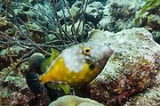 Whitespotted Filefish (Cantherhines macrocerus)<br /> BONAIRE, Netherlands Antilles, Caribbean<br /> HABITAT & DISTRIBUTION: Reef tops usually in pairs.<br /> Florida, Bahamas, Caribbean, Gulf of Mexico, Bermuda & south to Brazil.