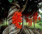 Red Jade vine, Hawaii