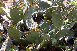 14 May 2013:   Prickly Pear Cactus