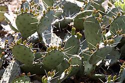 14 May 2013:   Prickly Pear Cactus
