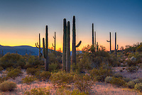Saguaro cacti stand tall as sunset fades in the Puerto Blanco Mountains in Organ Pipe Cactus National Monument along the US-Mexico border in Arizona. Truly one of my favorite places in the Sonoran Desert.