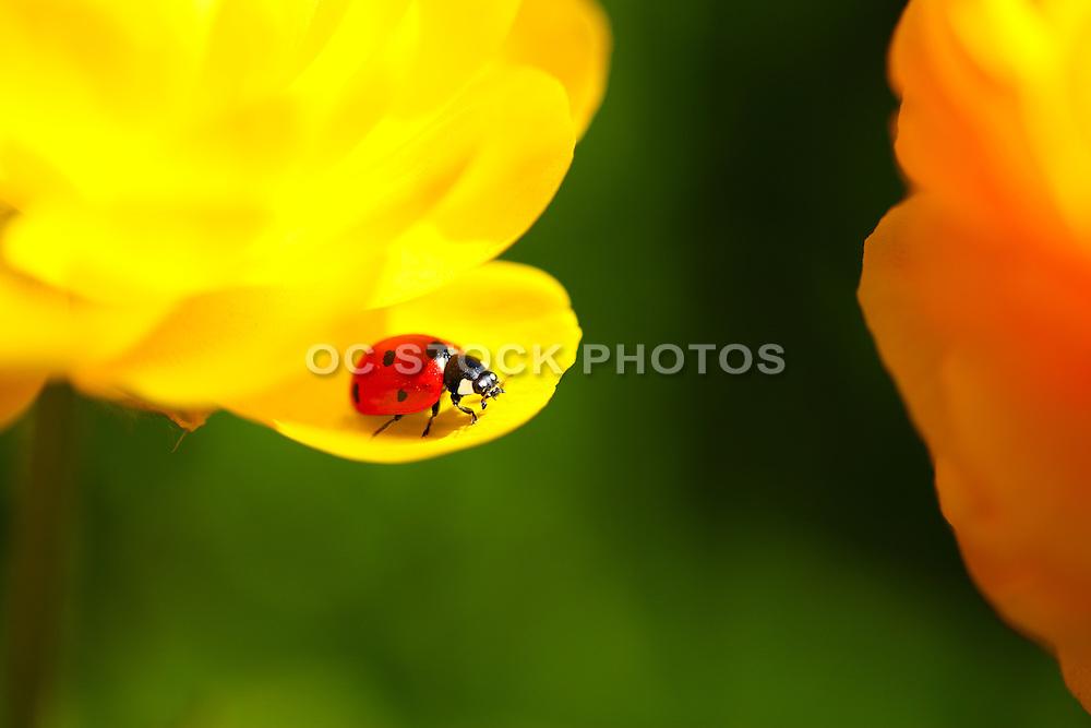 Lady Bug on a Marigold