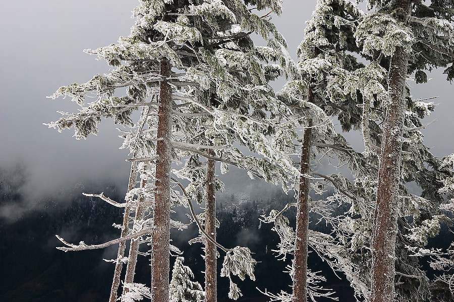 Pine trees are frozen, covered in hoar frost on the slopes of Mount Persis, Glacier Peak Wilderness, Washington.