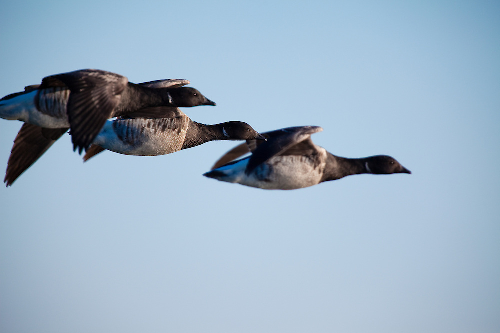 """The American Brant (Branta bernicla) in flight at Barnegat Inlet.  The brant is a  water bird that resembles small, short-necked forms of the Canada goose but is much darker and, though black-necked and black-headed, lacks white cheeks; instead it has a more or less extensive narrow white neck ring and is """"bibbed"""" like the barnacle goose. It breeds in the Arctic and winters southward into Eurasia and North America."""