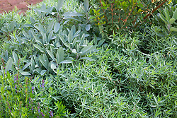 Herb bed. Artemisia dracunculus (French Tarragon), Salvia apiana (white sage), Myrtus (myrtle) and Hyssopus officinalis (hyssop)
