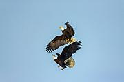 Pair of Bald eagles in Alaska