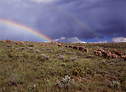 Double rainbow, including supernumerary rainbow below main arc, over sheep grazing above the Ruby River, Beaverhead-Deerlodge National Forest, Montana.