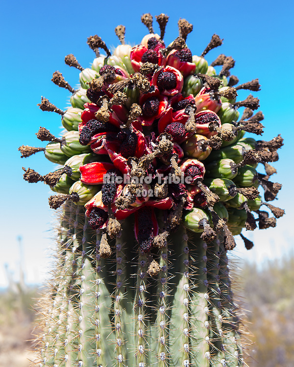 Saguaro fruit with exposed seeds