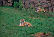 A913P4 Amur tigers Colchester zoo, Essex, England