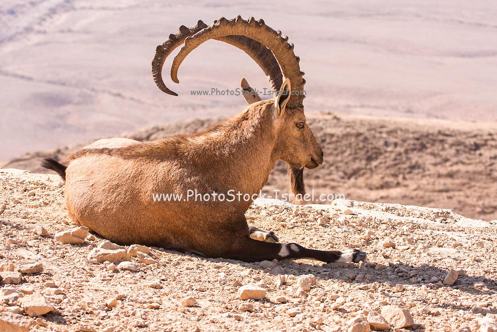 large Male Nubian Ibex (Capra ibex nubiana), Negev Desert, Israel