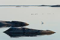 Common eider (Somateria mollissima) and mute swan (Cygnus olor) in Kallskär.<br /> Stockholm Archipelago, Sweden
