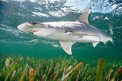 bonnethead shark, Sphyrna tiburo, Little Card Sound, Biscayne Bay, Key Largo, Florida, USA, Atlantic Ocean
