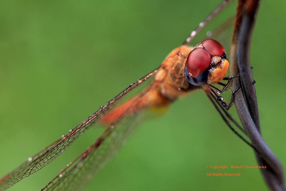 Dragonfly: With a yellow and black face and red compound eyes held in fine detail, this dragonfly takes in the morning's sun clinging to a strand of barbed wire, Senaru Lombok, Indonesia.