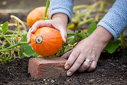 Raising a pumpkin onto a brick to avoid risk of rotting