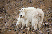 Mountain goat nanny with kid during winter in Wyoming