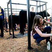 Strawberry Festival Steer Show