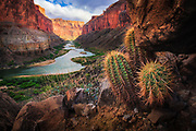 The Colorado River meandering through the Marble Canyon section of Grand Canyon National Park with barrel cacti in foreground