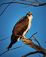 Osprey in a tree at Fort De Soto Park. Pinellas County, Florida Image taken with a Fuji X-T2 camera and 100-400 mm OIS lens (ISO 200, 400 mm, f/5.6, 1/950 sec).