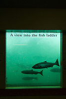 Salmon as seen  through the viewing windows at Bonneville Dam on the Columbia River, OR.
