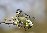 Blue Tit - Cyanistes caeruleus. L 11-12cm. Familiar garden and woodland bird. Sexes are similar. Adult has greenish back, blue wings and yellow underparts. Mainly white head is demarcated by dark blue collar, connecting to dark eyestripe and dark bib; cap is blue. Bill is short and stubby and legs are bluish. Male is brighter than female. Juvenile is similar but colours are subdued. Voice Call is chattering tser err-err-err. Song contains whistling and trilling elements. Status Common resident of deciduous woodland, parks and gardens.