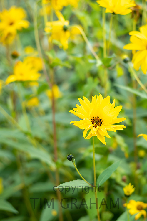 Helianthus Lemon Queen, bright yellow perennial flowering plant in daisy family Asteraceae. Floral display of tall flower in country garden, England