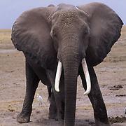 African Elephant, (Loxodonta africana)  Adult male. Kenya. Africa.