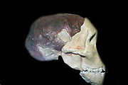 Part of the skull and brain cast of a young gracile australopithecine, Australopithecinus africanus.  Original in the University of the Witwatersrand, Johannesburg, South Africa.