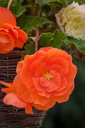 Begonia 'Parisienne Trailing'