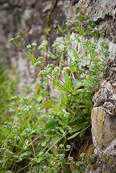 Common Lamb's Lettuce growing in a churchyard wall. Corn salad, Mache, Rapunzel, Fetticus. Valerianella locusta