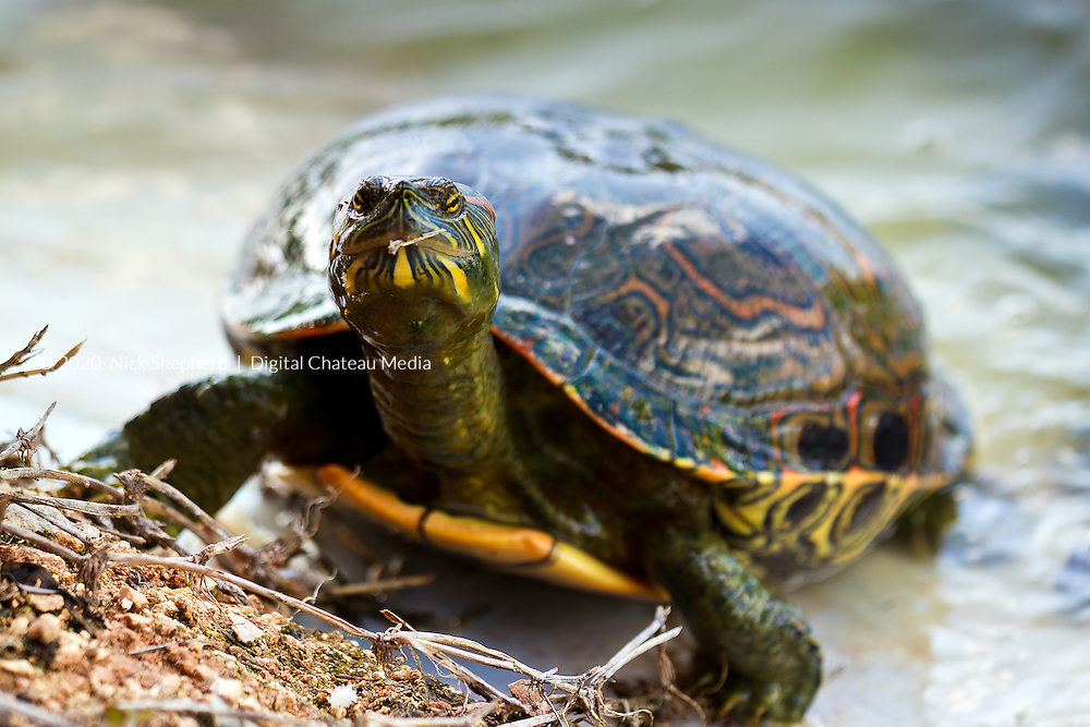 A Chicken turtle (Deirochelys reticularia),  by the lakeside in Yucactan, Mexico.