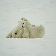 Polar Bear (Ursus maritimus) two bears wrestle during a playsession along the shores of Hudson Bay, near Churchill, Manitoba, in November