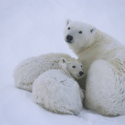 Polar bear (Ursus maritimus) mother and cubs resting. Hudson Bay, Canada