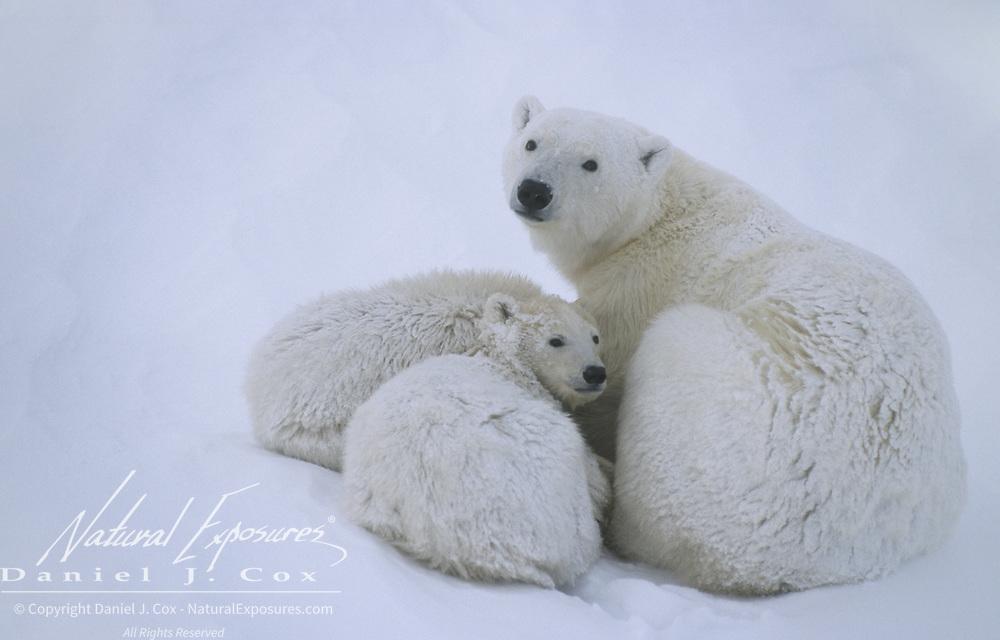 Polar bear (Ursus maritimus) mother and cubs resting. Hudson Bay, Canada