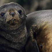 South Georgia Fur Seal, (Arctocephalus tropicalis gazella) Portrait of pup. South Georgia Island.