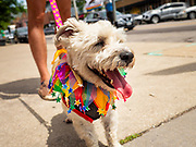 """28 JUNE 2020 - DES MOINES, IOWA: LOUIE watches the Capitol City Pride Parade in Des Moines. Most of the Pride Month events in Des Moines were cancelled this year because of the COVID-19 pandemic, but members of the Des Moines LGBTQI community, and Capitol City Pride, the organization that coordinates Pride Month events, organized a community """"parade"""" of people driving through the East Village of Des Moines displaying gay pride banners and flags. About 75 cars participated in the parade.     PHOTO BY JACK KURTZ"""